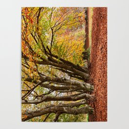 Colorful autumn in the woods of Canfaito park, Italy Poster