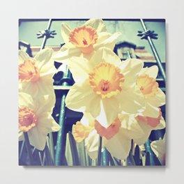 Alexander's Daffodils Metal Print