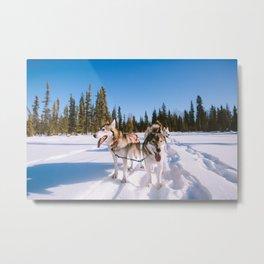 Winter Dog sledding, Fairbanks, Alaska   Animals Nature Landscape Photography   Wall Art Decor Metal Print