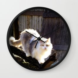 The Beautiful Maine Coon Dilute Calico Wall Clock