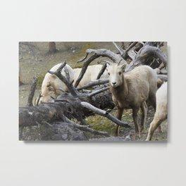 White Goats & A Dead Tree Metal Print