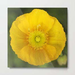 Iceland Poppy Bloom Metal Print