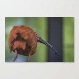 Funny Bird Canvas Print