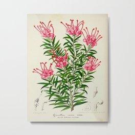 Grevillea Rosea Vintage Botanical Floral Flower Plant Scientific Illustration Metal Print