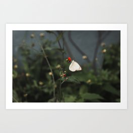 White Butterfly Nature Photography Art Print