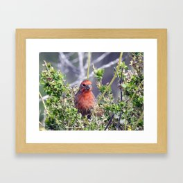 Handsome Male House Finch Framed Art Print