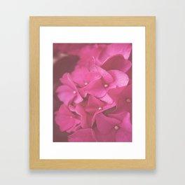 Hydrangea in Pink Framed Art Print