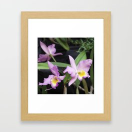 Cattleya Horace Maxima Orchid Framed Art Print
