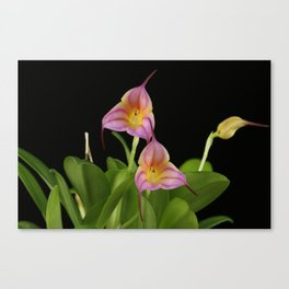 Masdevallia Lollipop Canvas Print