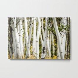 Picture Aspen Trees Metal Print