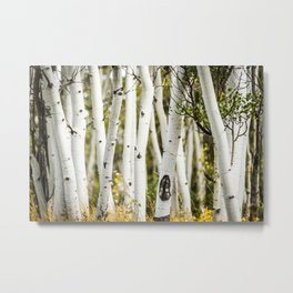 Picture Aspen Trees Metal Print