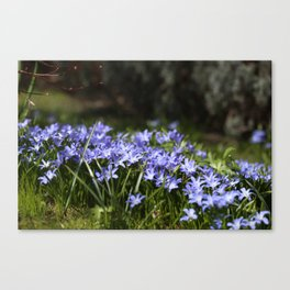Blue Scilla Canvas Print
