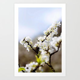 Plum flower, Photo Plum flower, Plum flower hill, beautiful view, Poster print, Canavas Print, Wall Hanging Art Print