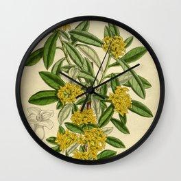 Daphne giraldii, Thymelaeaceae Wall Clock