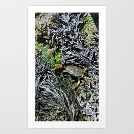 Soft Shell Crab Art Print