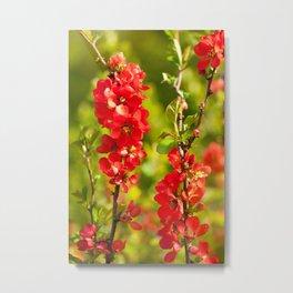 Chaenomeles shrub red flowering Metal Print