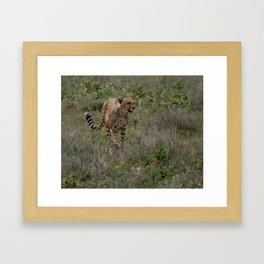 Cheetah Running on the Serengeti Plains, Africa on Safari Framed Art Print