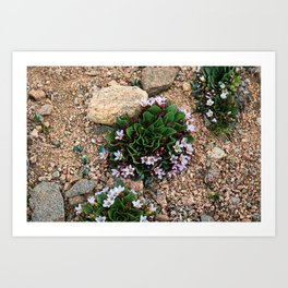 Alpine Spring beauty Colorado Art Print