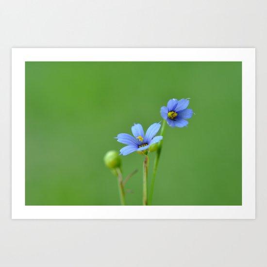 Blue Eyed Grass Art Print