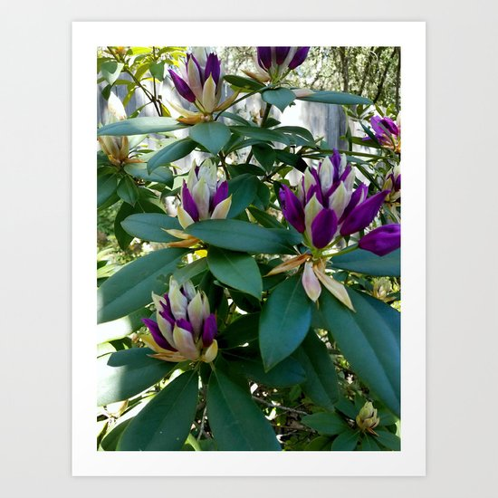 Rhododendrons Ready to Bloom Art Print
