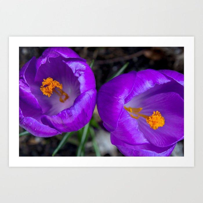 Deep purple and orange crocuses Art Print