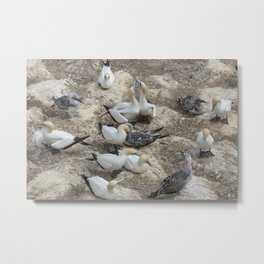 Gannets in a row Metal Print