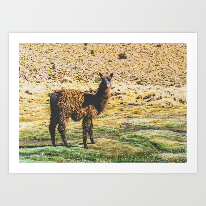Wandering Llama in the Bolivian Desert Art Print