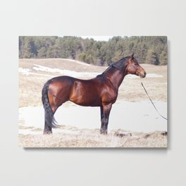 horse collection. Trakehner Metal Print
