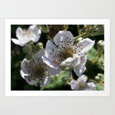 Blackberry Blossom Art Print