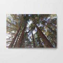 Redwoods in California  Metal Print