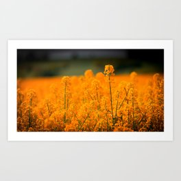 Orange Rapeseed Art Print