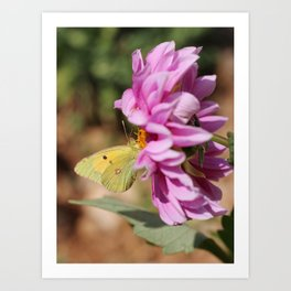 Clouded Yellow Butterfly On Pink Dahlia Art Print