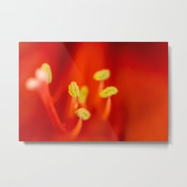Vibrant red amarillys  Metal Print
