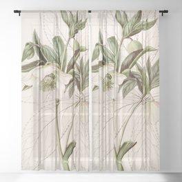 Helleborus orientalis Sheer Curtain