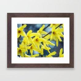Forsythia blossoms Framed Art Print
