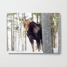 Molting Moose in Spring Metal Print