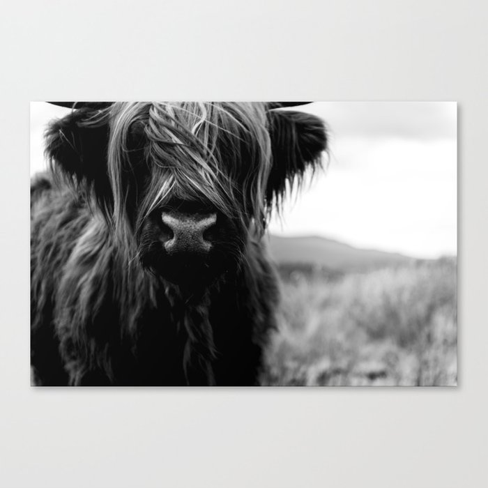 Scottish highland cattle baby black and white animal photography canvas print