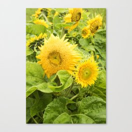 Teddy Bear Sunflowers Canvas Print