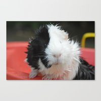 guinea pig Canvas Prints featuring Guinea Pig by MelissaLaDouxPhoto