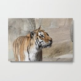"""Looking Up"" Amur Tiger Metal Print"