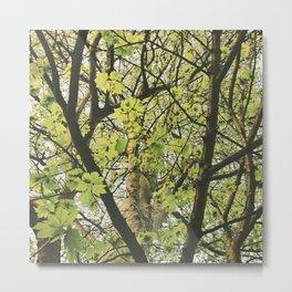 Sycamore tree leaves (Acer pseudoplatanus). Norfolk, UK. Metal Print