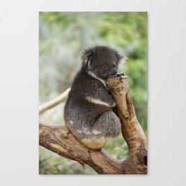 Koala Nap Time Canvas Print