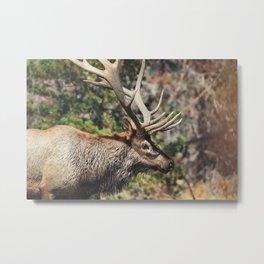 Elk at Estes Park Metal Print