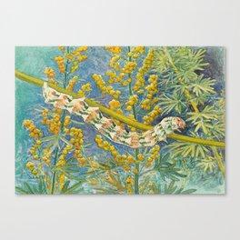 Cucullia Absinthii Caterpillar Canvas Print