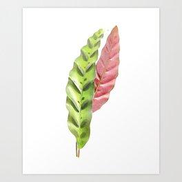 Calathea lancifolia Art Print