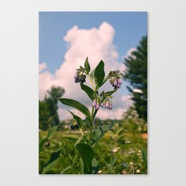 Healing Comfrey Plant with Flowers Canvas Print