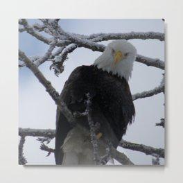 Bald Eagle at 12 Below -- Soldotna, Alaska Metal Print