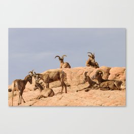 Seven Desert Bighorn_Sheep - Valley_of_Fire, NV Canvas Print