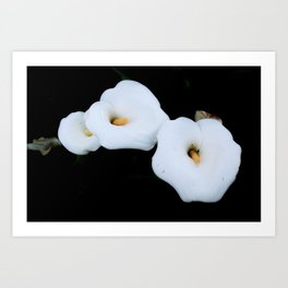 Three Calla Lilies Isolated On A Black Background Art Print