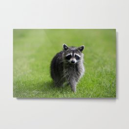 Curious Raccoon Metal Print